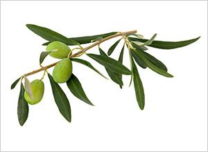 オリーブ葉(スペイン アリカンテ産)